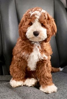 Cute Little Puppies, Cute Dogs And Puppies, Doggies, Australian Labradoodle Puppies, Miniature Labradoodle, Mini Labradoodle Puppy, Teach Dog Tricks, Labrador Retriever, Family Dogs