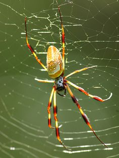 Golden Silk Orbweaver - Nephila clavipes - female