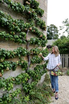 espalier pears with Amanda Brooks