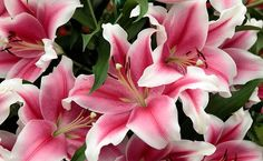 "Pink Brilliant Oriental Lily 2 Bulbs 16/18cm - Huge 10"" Blooms - $5.99"