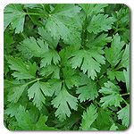 Organic Giant Italian Parsley