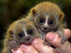 The Pygmy Slow Loris (Nycticebus pygmaeus) is a rare species of loris found in the tropical dry forests of Vietnam, Laos, China, and parts of Cambodia. About 72,000 of the creatures live in the wild, and approximately 200 are in captivity.