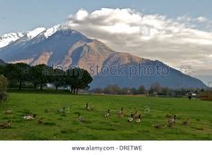 Domaso,green,ducks,lake Como,lecco,italy Stock Photo, Picture And Royalty Free Image. Pic. 66095050