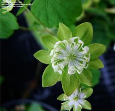Full size picture of Rue Anemone, Wood Anemone, Windflower 'Jade Feather' (<i>Thalictrum thalictroides</i>)