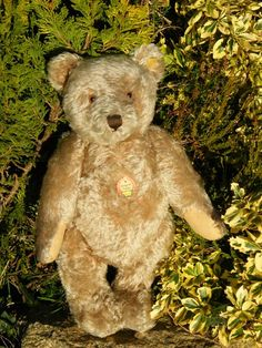 Large old 1950s Steiff bear in VGC with chest label and button in ear - stunning what a beautiful bear!
