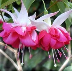 The 'Seventh Heaven' Fuchsia Plant produces amazing fully double blossoms and probably got its name from the white, blush-tipped sepals that gracefully arch upwards, resembling nothing less than angel wings. The hot pink double skirt is just icing below the cake, as are the white and pink stamens and anthers that dangle below the skirt.