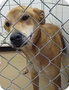 Zanesville, OH - Labrador Retriever Mix. Meet 42269 Cell Dog Harley, a dog for adoption. http://www.adoptapet.com/pet/15051015-zanesville-ohio-labrador-retriever-mix