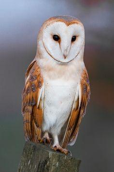 Barn Owl (Tyto alba) »by Chris Heal