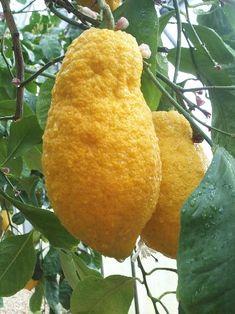Citron 'Piretto'