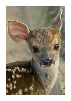 New born deer - dozens wander in and out of our yard; every year we see twins! #photography
