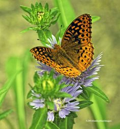 Photo Butterfly On Stokesia by Richard Marlow on 500px