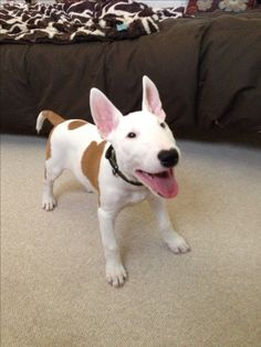 Maverick the bull terrier #bullterrier