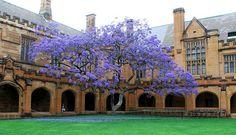 Jacaranda Tree, university of Sydney