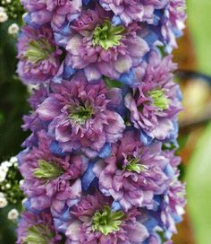 Delphinium 'Blueberry Pie ®' Neat color combo, nice and full Flower Of Life, My Flower, Unusual Flowers, Beautiful Flowers, Types Of Plants, Trees And Shrubs, Dream Garden, Horticulture, Garden Plants