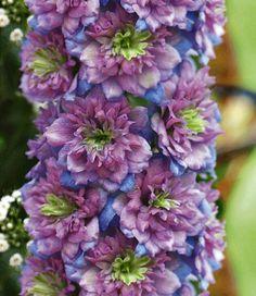 Delphinium 'Blueberry Pie, ridderspoor