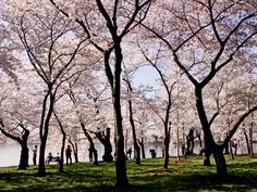 National Cherry Blossom Festival, Washington, D.C., Never been in April, must go when cherry blossoms in bloom!