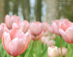 Garvan Gardens Tulip Extravaganza ~ Hot Springs, Ar
