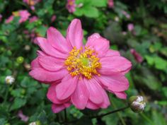 Japanese anemone hupehensis var. japonica 'Prince Heinrich' rich pink
