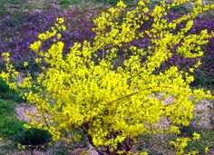 yellow bushes and shrubs   Planting shrubs with Forsythia flowers in bright yellow color.PNG
