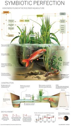 """Infographic: Rice-Paddy Aquaculture"" I've noticed that most permaculture farms and institutes use rice paddies. Aquaponics System, Aquaponics Diy, Aquaponics Greenhouse, Hydroponic Growing, Hydroponic Gardening, Gardening Apron, Vegetable Gardening, Rice Paddy, Fish Farming"