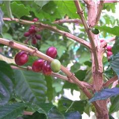 Coffea - Pianta del caffè - Rubiaceae - Come curare e coltivare la vostra Coffea