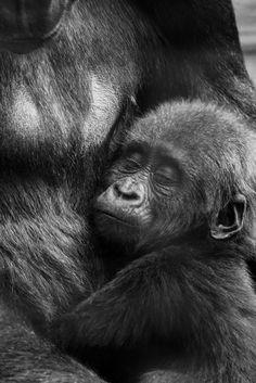 """500px / Photo """"Baby Gorilla"""" by Tom Longhurst"""