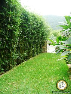 Mike thinks this would make a great sound barrier on the road side… bamboo hedge. Mike thinks this would make a great sound barrier on the road side of our backyard. Privacy Plants, Backyard Privacy, Backyard Garden Design, Backyard Fences, Backyard Landscaping, Privacy Hedge, Privacy Fence Landscaping, Tropical Backyard, Fence Plants