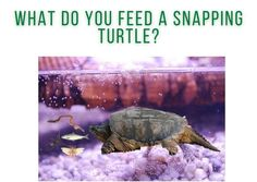 What can you feed a snapping turtle? What type of food do snapping turtles eat? Common Snapping Turtle, Alligator Snapping Turtle, Turtle Care, Pet Turtle, Small Insects, Environmental Change, Moving Water, Natural Instinct, Crocodiles