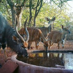 """0 Likes, 1 Comments - Riebelton Safaris (@riebelton_safaris) on Instagram: """"Nyala Reflections: A small family group consisting of a breeding bull, a mature pregnant ewe, a…"""""""