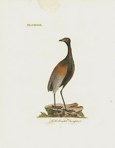 Gold-breasted Trumpeter - S. America USD $55 John Latham General History of Birds Prints