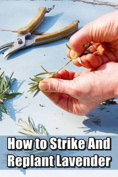 How to Strike and Replant Lavender