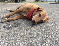 Cão de luto é flagrado deitado no meio da rua logo após sua dona morrer atropelada no local