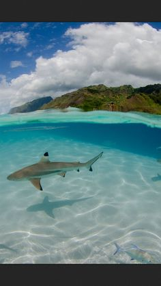 Shark, ocean