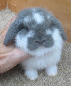 Mini Lop Bunnies, Holland Lop Bunnies, Pet Bunny Rabbits, Cute Baby Bunnies, Pet Rabbit, Cute Cats, Cute Bunny Pictures, Bunny Care, Cute Little Animals
