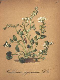 Die Alpenpflanzen nach der Natur gemalt /. Prag :F. Tempsky,1879-1884..