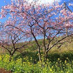 【_nkyk_】さんのInstagramをピンしています。 《日曜日に行って来ました!例年より早く、もう満開です🌸 #河津桜 #河津桜まつり #河津桜祭リ #桜 #🌸 #カワヅザクラ #河津 #伊豆 #春が来た #桜の季節 #桜ノ季節 #菜の花 #花 #写真好きな人と繋がりたい  #cherryblossom #cherryblossoms #cherryblossomfestival #kawazuzakura #kawazusakura #kawazu #kawazucherryblossom #kawazucherryblossoms #kawazucherrytree #Izu #springhascome #thecherryblossomseason #thecherryblossomseasonhascome #seasonofcherryblossom #rapeblossoms》