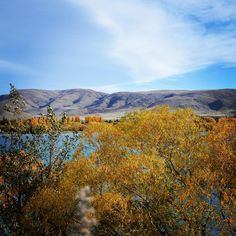 [#VoyagezDepuisVotreCanapé] L'année dernière, en automne, dans la région du MacKenzie près de Twizel et du mont Cook en Nouvelle-Zélande. Les couleurs jaunes et rouges des arbres ressortent encore plus dans les grandes plaines sèches de la région. L'automne est presque fini ici, en Nouvelle-Zélande où nous sortons à peine du confinement ... Plus que quelques semaines pour en profiter !  #arbresenautomne #photooftheday #photodujour #byebyeautumn Mountains, Nature, Travel, Instagram, Yellow Color Schemes, New Zealand, Australia, Exit Room, Naturaleza
