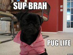 douchebag-dog-pug-life