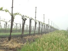 #Sustainable #PinotNoir #vineyards #Budbreak