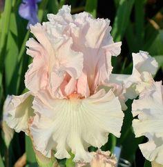 TB Iris germanica 'Love of Life' (Ghio, 2012)