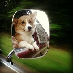 Corgis in the mirror are closer than they appear.