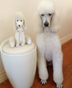 This is Ringo. He is a Standard Poodle and lives in Melbourne Australia.  www.yapwear.com.au
