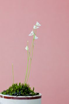 A carnivorous bladderwort with tiny, delicate flowers. Pitcher Plant, Terrarium Diy, Carnivorous Plants, Flower Images, Snails, Dream Garden, Botany, Houseplants, Indoor Plants