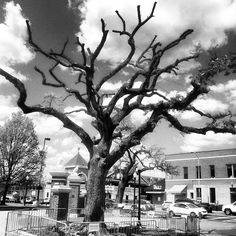 Preparing to say goodbye. The Oaks at #Toomer's Corner will be rolled one last time in 10 days after the A-Day game.