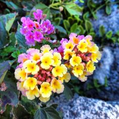 Lantana.... These are awesome annuals.  They change colors with many different colors at once and grow beautifully.