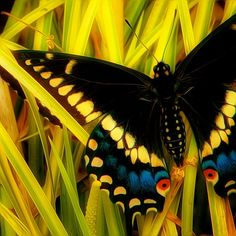 Fight or Flight by Thomas Alexander, Swallowtail on yellow grass  via 500px