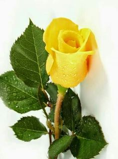 Pretty yellow rose