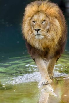 African Big Cats, African Animals, Lion Images, Lion Pictures, Lion And Lioness, Lion Of Judah, Beautiful Lion, Animals Beautiful, Lion Hd Wallpaper