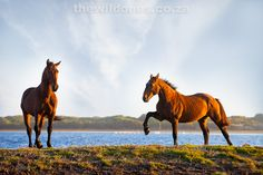 The Wild Horses of Botriver and Kleinmond   beautiful photo. I love this horses.
