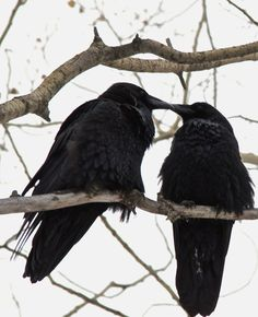 """ravens mate for life and bring us news from the other side, they hold """"funerals"""" for their dead. They are My Familiars and I love them."""